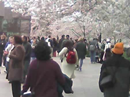 Crowds View Cherry Blossoms at the FDR Memorial